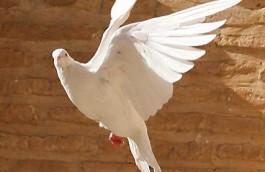 Beli golub