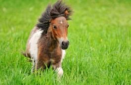 Poni konjić
